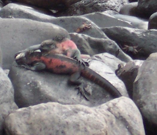 Christmas iguanas