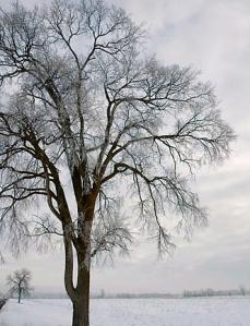 Dutch elm tree in winter
