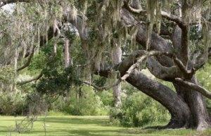 Southern live oak and its wonderful Spanish moss