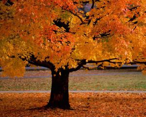 maple tree in fall Source: countrywingsinphoenix.blogspot.com
