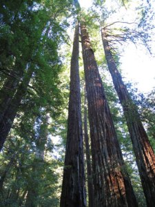redwood trees Source: flowersociety.org