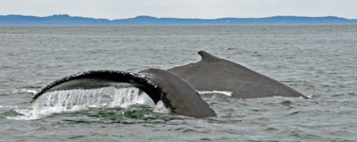Humpbacks cavorting