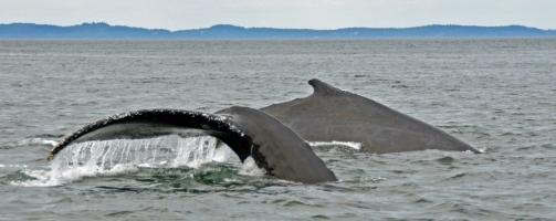 Humpbacks cavorting