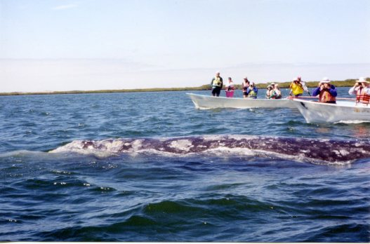 Gray whale mama in the Baja