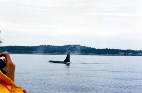 Killer whale sighting from our zodiac off Victoria, BC