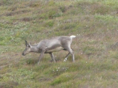 caribou2SM