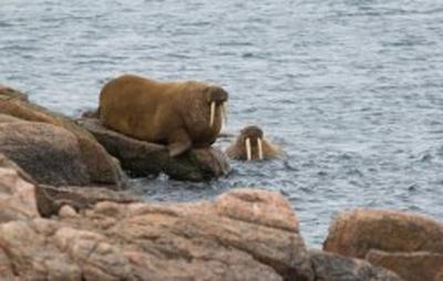 walruses2