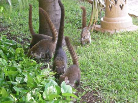 Coatis, also everywhere if you're in the right place.