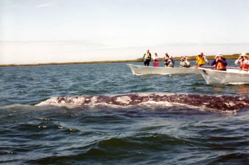 Floating with a gray whale momma in Bahia Magdalena
