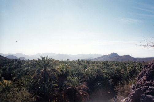 A landscape of date palms and citrus trees at Mulegé