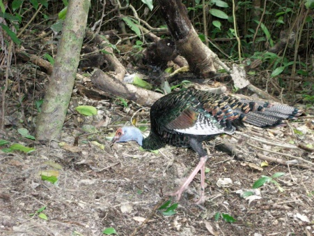 An Ocellated Turkey enjoying the forest at Coba
