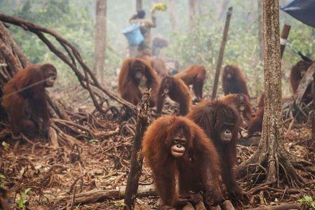 ED-Orangutans