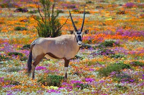 SA-Oryx